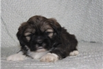 Picture of INDEPENDENT LHASA APSO: BRADLEY (M)