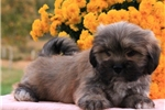Picture of TRUSTWORTHY LHASA APSO: BRANDY (M)