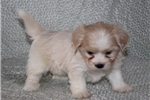 Picture of FANTASTIC LHASA APSO: LISSA (F)