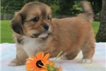 Picture of PERSONABLE LHASA APSO: BENNY (M)
