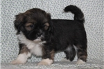 Picture of ATTRACTIVE LHASA APSO: LORA (F)