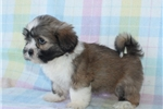 Picture of AWESOME LHASA APSO: DONNA (F)
