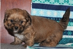 Picture of PERSONABLE LHASA APSO: KENNEDY (M)