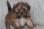 Picture of LOVABLE LHASA APSO: LINDY (F)