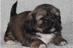 Picture of COMPETENT LHASA APSO: BRANDON (M)