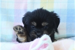 Picture of LOVABLE LHASA APSO: COLA (F)