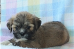 Picture of STRONG LHASA APSO: CRESTON (M)