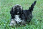 TRUSTWORTHY LHASA APSO: CLINTON (M) | Puppy at 10 weeks of age for sale