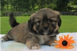 Picture of BRIGHT LHASA APSO: BILLY (M)