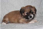 Picture of INSTINCTUAL LHASA APSO: BEVERLY (F)