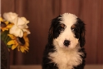 Picture of NAUGHTY F1 MINI BERNEDOODLE: ARLEN (M)