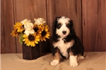 Picture of PLEASANT F1 MINI BERNEDOODLE: ALEX (M)
