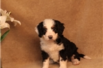Picture of AFFECTIONATE MINI BERNEDOODLE NORMA (F)