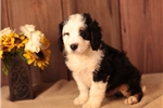 Picture of HAPPY F1 MINI BERNEDOODLE: ADWIN (M)
