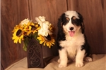 Picture of AWESOME F1 MINI BERNEDOODLE: ATWOOD (M)