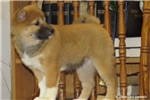 Picture of GRACEFUL SHIBA INU: GULIVIA (F)