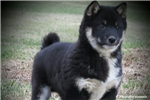 Picture of COMPETENT SHIBA INU: NAZO (M)