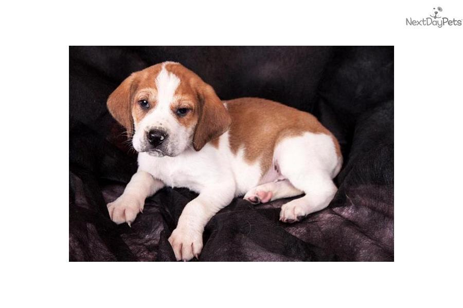 parker walker treeing walker coonhound puppy for sale