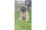 Picture of AKC Mastiff MALE BOTH PARENTS ARE CHAMPION