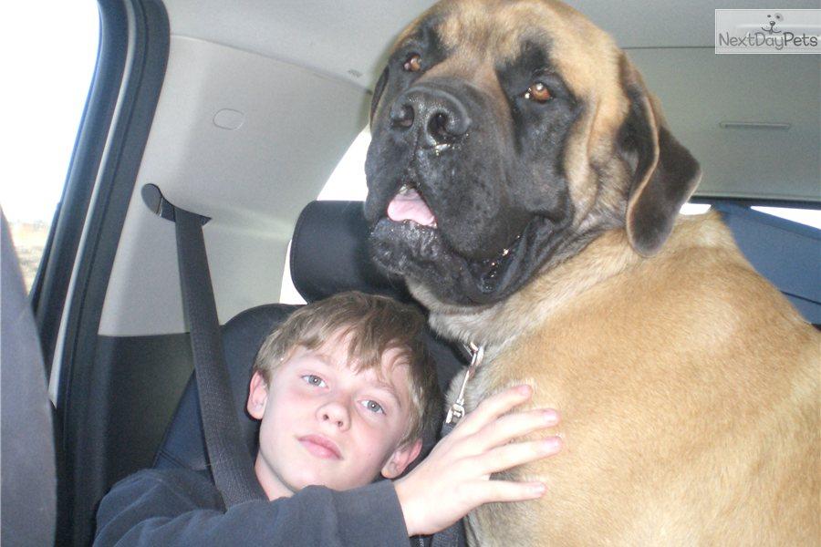 Mastiff for sale for $800, near Wichita, Kansas. a6c37bdf-4271