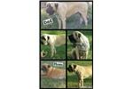 Picture of Pure Bred Mastif Puppy