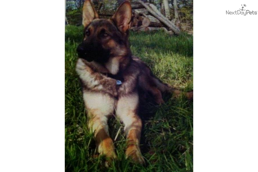 -farm--family-raised-akc-german-shepherddog-german-shepherd-puppy
