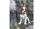 Picture of AKC Cavalier King Charles Spaniel