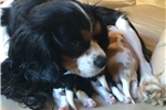 Picture of AKC Registered Cavalier King Charles Spaniel