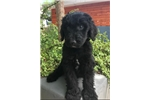 Picture of F1B Standard Goldendoodle Puppy  - Ready May 6th