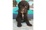 Picture of F1B Standard Labradoodle Puppy  - Ready May 2017