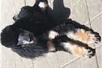 Picture of Black and tan phantom moyen male poodle