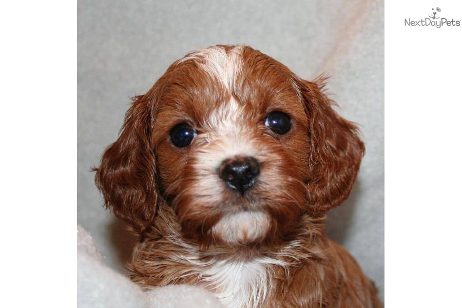 Cavapoo Dogs For Sale In Oregon