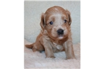 Featured Breeder of Cavapoos with Puppies For Sale