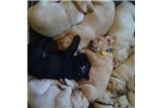 Picture of Yellow Lab Puppies ready for Easter