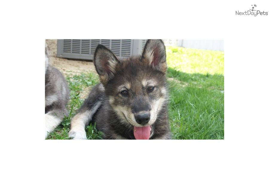 Timber Wolf Hybrid For Sale | just b.CAUSE