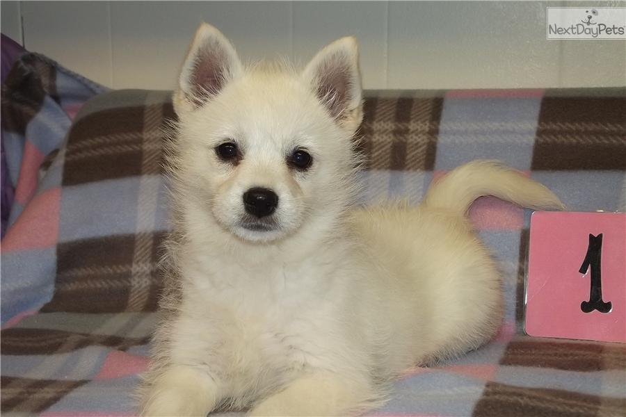 Akk Dog For Sale