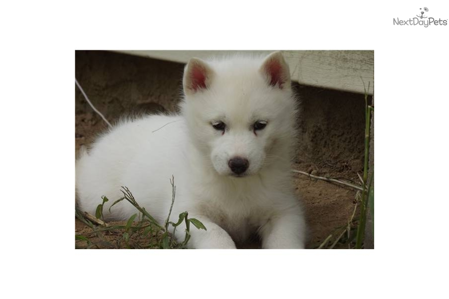 Siberian Husky puppy for sale near - 128.9KB