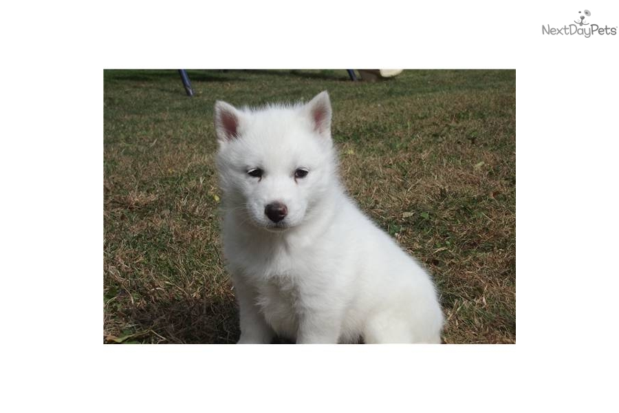 Siberian Husky puppy for sale near - 184.3KB