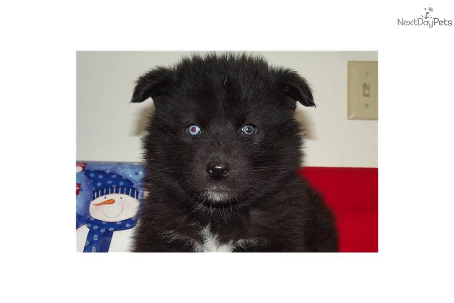 Black wolf puppy