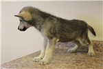 Picture of Mid content wolf dog puppy M5