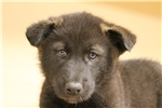 Picture of Low content wolf dog puppy M3