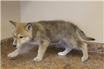 Picture of Upper mid content wolf dog puppy F2