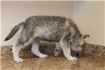 Picture of Mid content wolf dog puppies (M5)