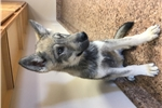 Picture of Mid content wolf dog puppy M4