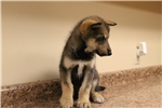 Picture of Low content wolf dog puppy M2