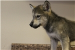 Picture of Mid content wolf dog puppy M3