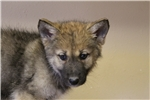 Picture of Upper mid content wolf dog puppy F3