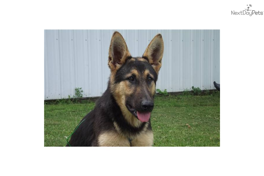 Wolf Hybrid puppy for sale near Omaha / Council Bluffs, Nebraska ...