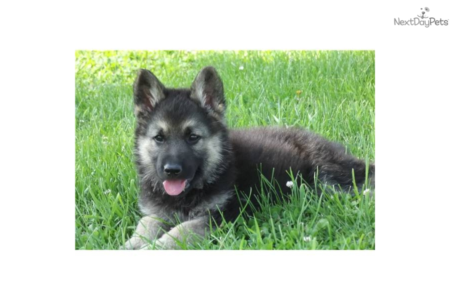 Meet gsd male pup a cute Wolf Hybrid puppy for sale for ...