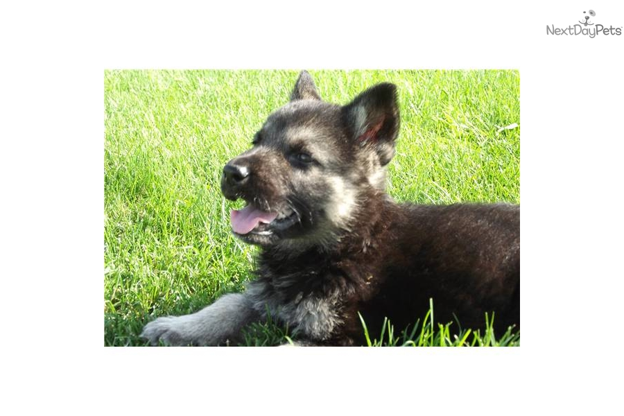 ... Wolf Hybrid puppy for sale for $500. Wolf / German shepherd male puppy